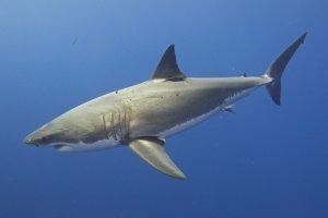 Modrý žralok je známy aj ako veľký biely žralok (The Grat White Shark).