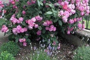 Bez ruží alevandule by predzáhradka nebola najkrajšou.