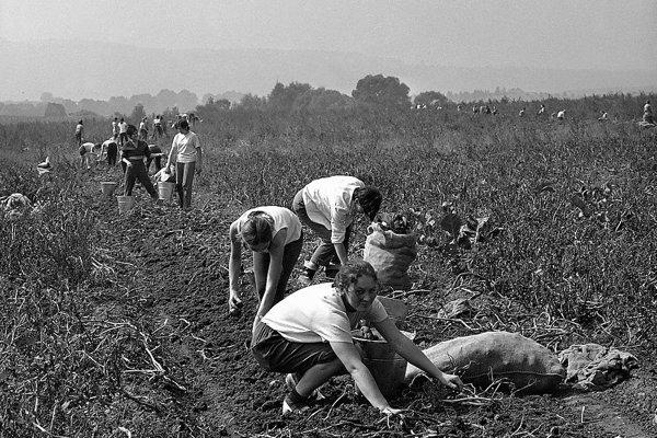 Zber zemiakov patril k častým brigádam v minulosti.