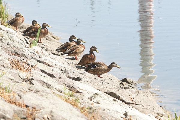 Na Oravskej priehrade hniezdia aj viaceré druhy kačíc.