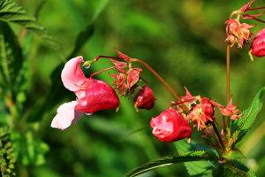 Netýkavka žliazkatá má krásne kvety