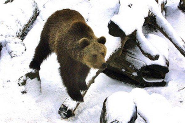 Medvede na Orave ešte nespia.