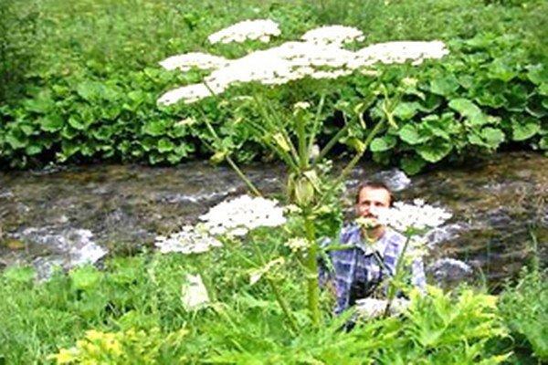 Boľševník obrovský, jedna z nebezpečných inváznych rastlín.