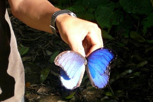 Samček motýľa z rodu morfo didius. Domorodci z jeho krídel vyrábajú suveníry.