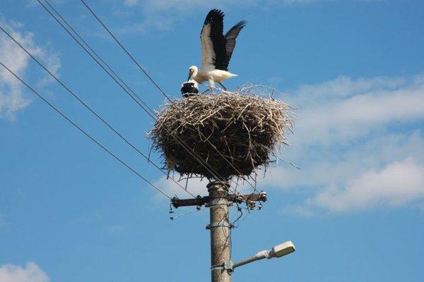 Ako sa bociany v Slovanoch učia lietať.