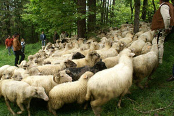 Zháňanie oviec do salaša.