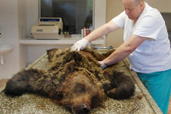 Medvedica na pitevnom stole. Útok medvedieho samca ju pripravil o život.