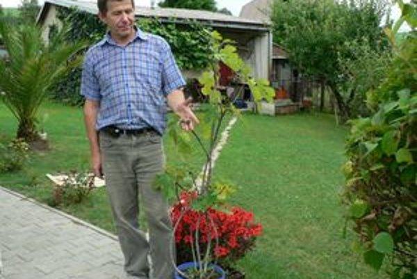 Jozefa Tatrku tento rok milo prekvapil figovník, ktorý zarodil figami. Rastlinu si pred rokmi priniesol z dovolenky v Chorvátsku.