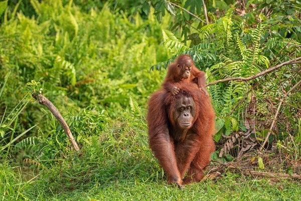 Samica orangutana bornejského s mláďaťom.