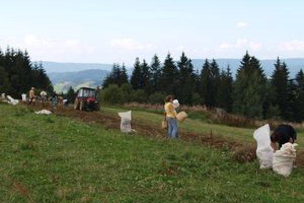 Zber zemiakov už nie je taká ťažká práca, ako kedysi, pomôže traktor. Medzi zberačmi vládne zvyčajne výborná nálada.