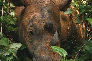 Nosorožec sumatriansky je najmenší a najstrstnatejší druh nosorožca. Má dva žijúce poddruhy, ktoré vo voľnej prírode žijú už iba na Sumatre a v Borneu.