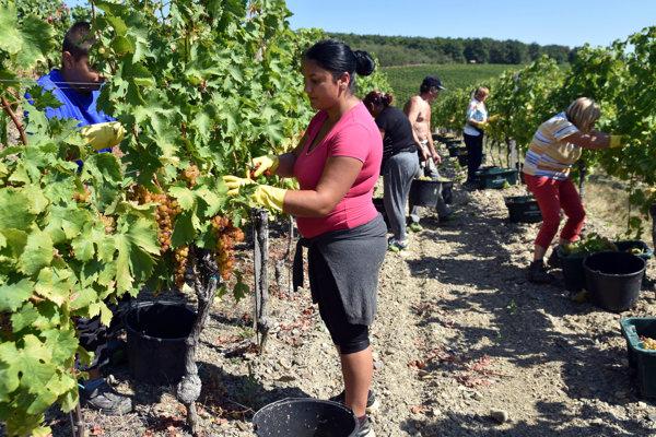 Zberači vo vinohradoch na Tokaji už oberajú hrozno.