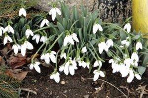 Biele kvety skrášľujú predzáhradku Lepetovcov zo Šútova.