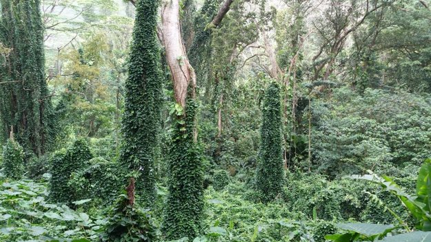 Dažďový prales, ktorý poslúžil aj ako scenéria filmu Jurský park.