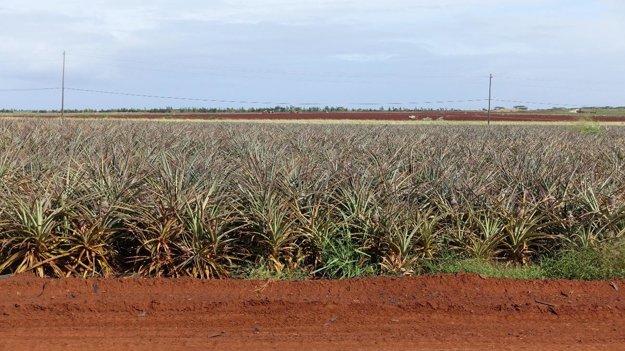 Pole ananásov v Dole plantation. Na rozdiel od obilia, sa ananásy pestujú ručne.