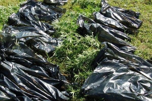 Polícia zaistila pestovateľa marihuany.