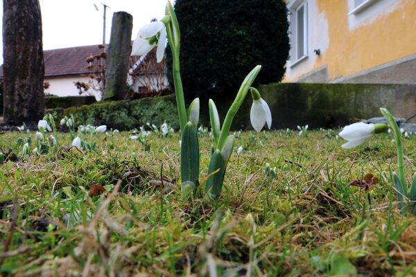 Snežienky už vítajú jar. Teplé februárové počasie spôsobilo rozkvitnutie jarných kvetov a puky na konároch stromov.