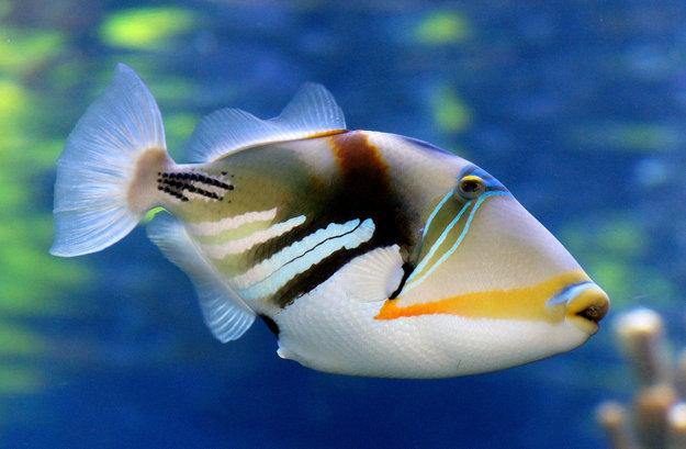 Havajská štátna ryba Humuhumunukunukuāpuaʻa.