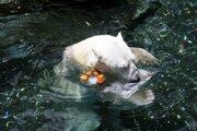 Tongki žil v zoo takmer celý svoj život.