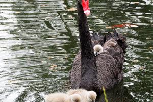 Jazierko v Zoo s labuťami, tohtoročné prírastky