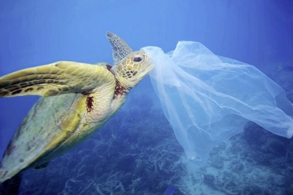 Korytnačka kareta obrovská s plastom.