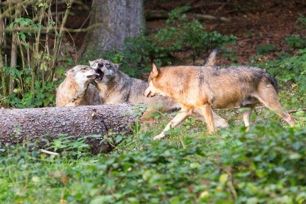 Svorka vlkov. Ilustračné foto.