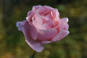 Ruže zakvitli počas teplej a suchej jesene aj v záhradke na Bankove v Košiciach.