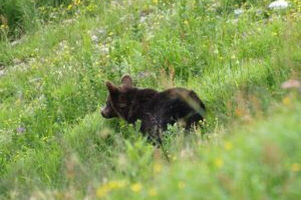 Presné počty medveďov zatiaľ známe nie sú.