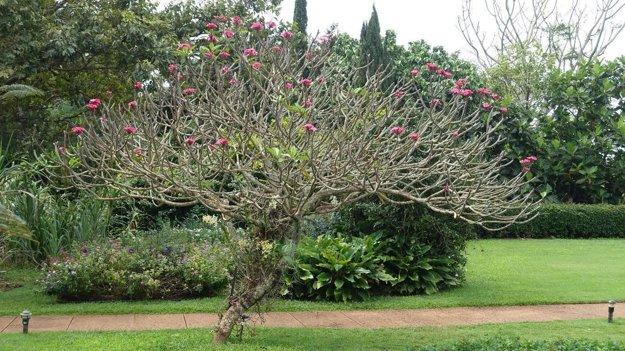 Kvitnúca Plumeria v Allerton Garden