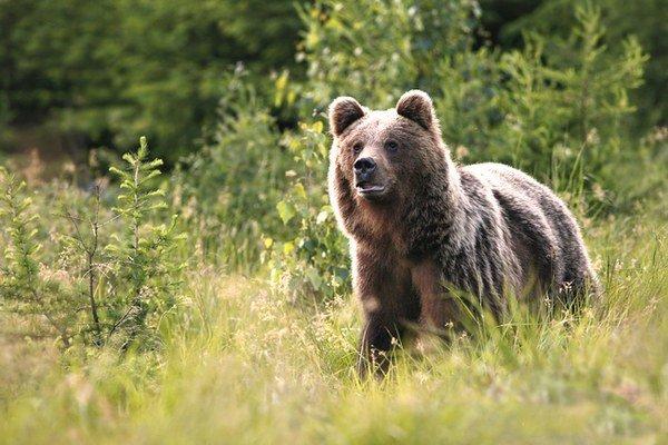 Poznatky z výskumu medveďov využijú ochranári na vydanie publikácie.
