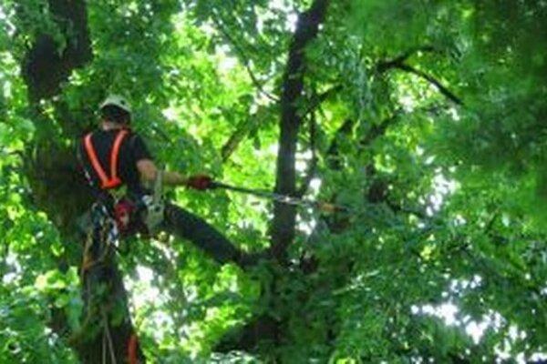Na ošetrovanie vzácnych stromov treba mať nielen vedomosti a zručnosť, ale aj poriadnu dávku odvahy.