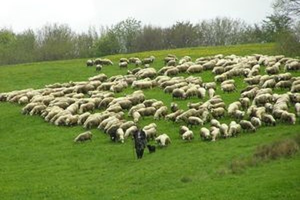 Počet oviec klesá, v súčasnosti ich je na Slovensku približne 370-tisíc.  Novela môže chovateľstvo oviec ešte viac obmedziť.