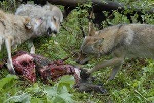 Päťdesiatsedem mladých oviec strhla početná svorka vlkov.