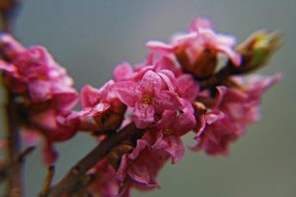 Najprv rozkvitnú kvety, listy vyjdú von až neskôr.