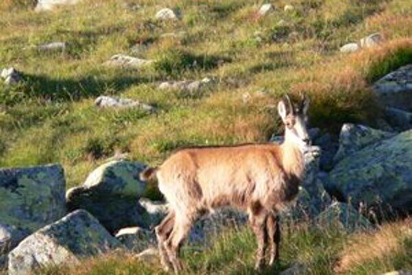 Počet kamzíkov v nízkotatranskom národnom parku odhadujú na asi deväťdesiat.