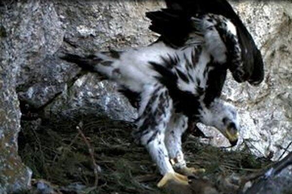 Orlíča si trénovalo krídla a svalstvo.
