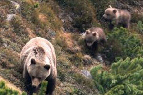 Podľa predpokladov ochranárov vyvedú na jar medvedice až do tridsať mláďat.
