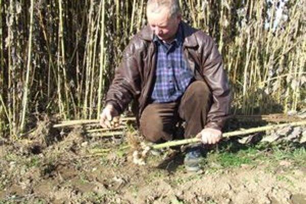Vincent Vyšňan vysvetľuje, že podzemné časti rastliny - hľuzy sú nepravidelného tvaru, veľmi podobné zemiakom. Majú však odlišnú chuť.