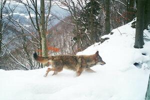 Vlk dravý je prirodzenou súčasťou našich lesov.