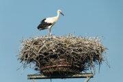 Bocianie hniezdo v Hornej Seči je už obsadené.
