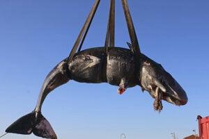 Pri pobreží Sardínie našli osemmetrovú veľrybu.
