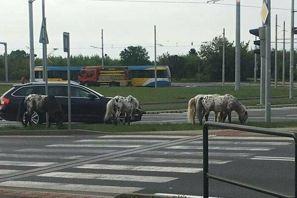 Poníky z cirkusu sbehali po uliciach.