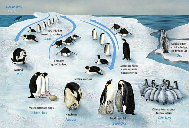 Životný cyklus tučniaka obrovského.