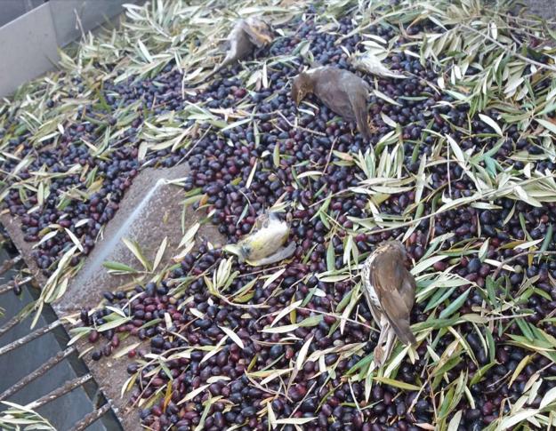 Mŕtve vtáky, ktoré vsali kombajny zbierajúce olivy.