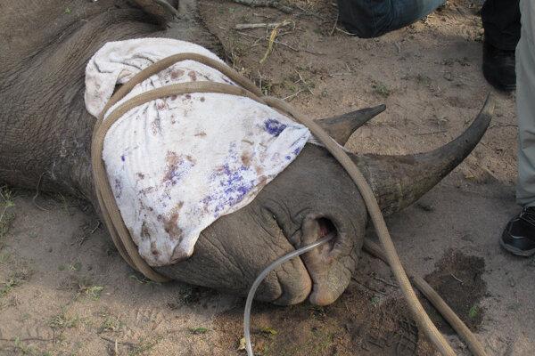 Uspatý nosorožec biely.