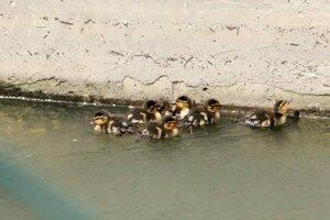 Niekoľkodňovým kačičkám šlo o život, silný prúd ich sťahoval k turbíne elektrárne.