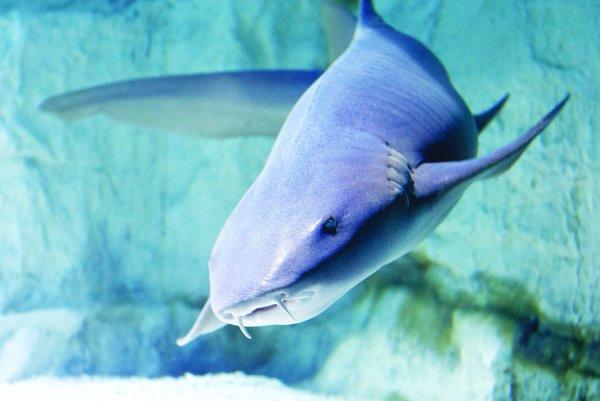 Najväčší v akváriu je žralok fúzatý, má dĺžku zhruba 2,4 metra.