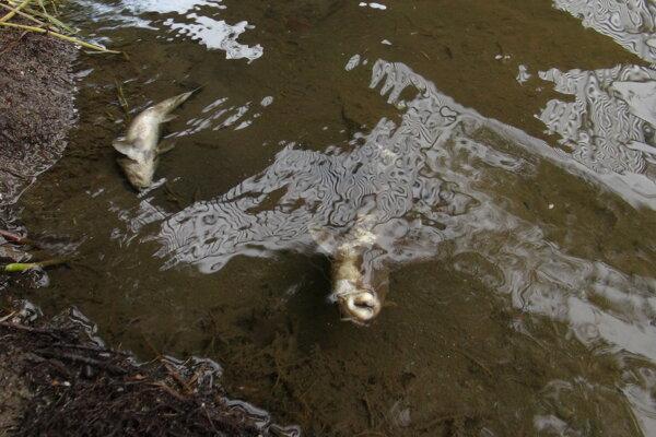 Uhynuté ryby v Hornáde.