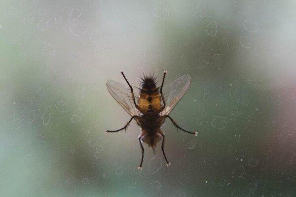 Muchy, ktoré vedci chytili, sa nemnožia vnútri budov. Do nemocníc prenikli zvonku.