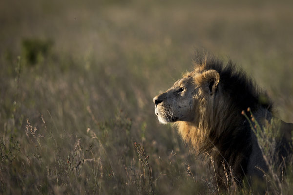 Ide už o druhý prípad, čo sa lev zatúlal von z parku.